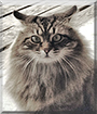 Misty May the Maine Coon
