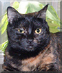 Jasmine the Tortoiseshell Shorthair