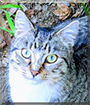 Mittens the Domestic Shorthair Tabby