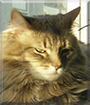 Idgie the Maine Coon mix