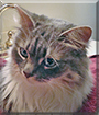 Jasper the Maine Coon, the Cat of the Day