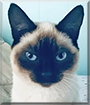 Rudy the Siamese, the Cat of the Day