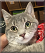 Kitcat Enya the Gray Tabby mix