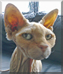 Blootje the Sphynx/Devon Rex mix