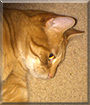 Percy the Orange Tabby