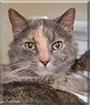 Miss Kitty the Dilute Tortoiseshell