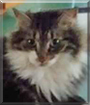 Mittens the Maine Coon