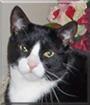 Sylvester the American Shorthair Tuxedo