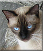 Mico the Siamese mix