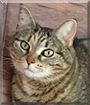 Roxy the Domestic Shorthair Tabby