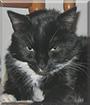 Rocky the Tuxedo Cat