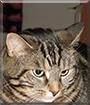 Hektor the Tabby Cat