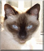 Missy the Seal Point Siamese mix
