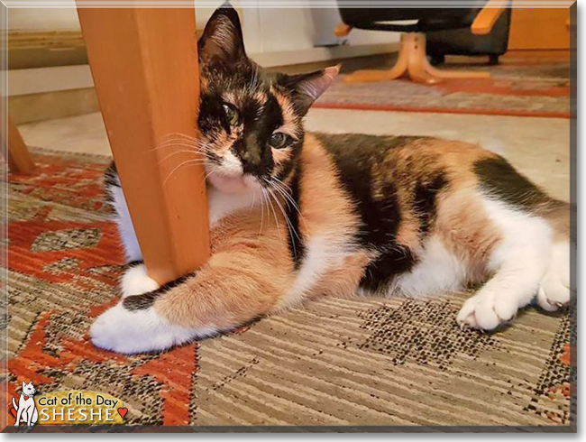 Sheshe the Calico, the Cat of the Day