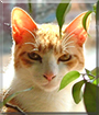 Momo the Japanese Bobtail