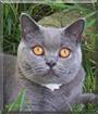 Gracie the British Blue Shorthair