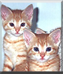 Buster & Baby, the American Shorthairs