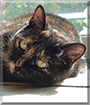 Afton the Tortoiseshell Cat