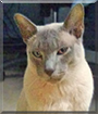 Todd the Tonkinese, the Cat of the Day