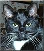 Dewey the Tuxedo Cat