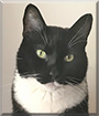 Jacques the Tuxedo Domestic Shorthair