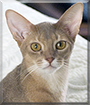 Stormy Pants the Abyssinian