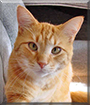 Tarquin the Orange Tabby