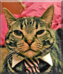 Stryper the Tabby