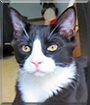 Salem the Semi-Longhair Tuxedo