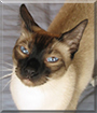 Alvin the Siamese mix