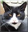 Bertie the Tuxedo Shorthair