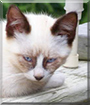 Casper the Siamese mix