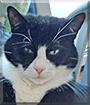 Sassy the Tuxedo Cat