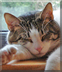 Goose the Domestic Shorthair