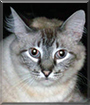 Diamond the Lynx-point Siamese mix