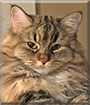 Dolly the Maine Coon, Ragdoll mix