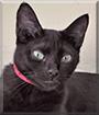Pantera the Brazilian Cat mix