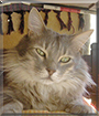 Roger the Maine Coon mix