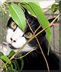 JoJo the Tuxedo Cat