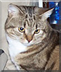 Tiger the Tabby Shorthair
