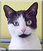 Lil' Man the Tuxedo Cat