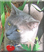 Riley the Russian Blue