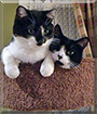 Bandit and Daisy the Tuxedo Shorthairs