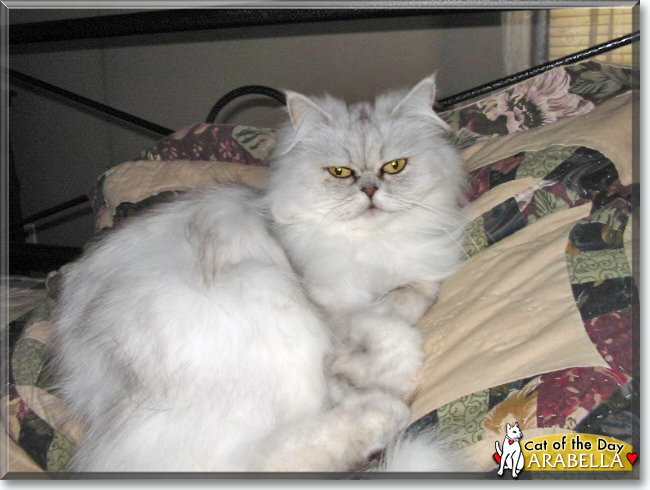 Arabella the Persian, the Cat of the Day
