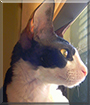 Toulouse the Cornish Rex