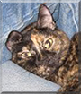 Ginger the Tortoiseshell