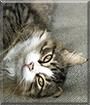 Catsputin the Domestic Longhair
