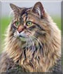 Turbo the Maine Coon Cat