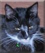 Lilly the Tuxedo Shorthair