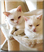 Janni and Max the British Shorthairs, the Cat of the Day
